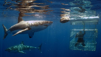 350x200_sharkdiving.jpg